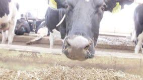 Krowa obwąchuje blisko dozowników zbiory