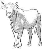 Krowa odizolowywająca na białym tle royalty ilustracja