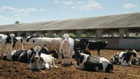 Krowa odpoczynek na gospodarstwie rolnym zdjęcie wideo