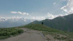 Krowa odpoczynek w górach, Gruzja zbiory wideo