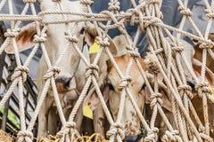 Krowa płacz w ciężarówce: smucenie, strach Fotografia Royalty Free