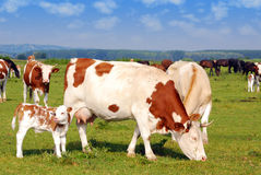 krowa paśnik Zdjęcia Stock