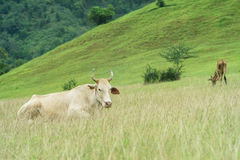 Krowa paśnik Fotografia Stock