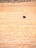 Krowa Pasa Samotnie w Suchym paśniku, portret orientacja Zdjęcia Royalty Free