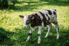 Krowa pasa w łące zamknięta krowy nabiału głowa s zamknięty Nieociosana krowa Zdjęcie Royalty Free