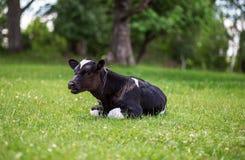 Krowa pasa w łące zamknięta krowy nabiału głowa s zamknięty Nieociosana krowa Zdjęcia Stock