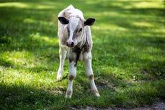 Krowa pasa w łące zamknięta krowy nabiału głowa s zamknięty Nieociosana krowa Obraz Stock