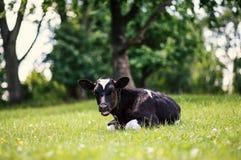 Krowa pasa w łące zamknięta krowy nabiału głowa s zamknięty Nieociosana krowa Zdjęcia Royalty Free