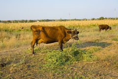 Krowa pasają na łące Fotografia Stock