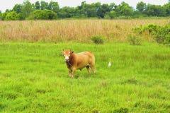 Krowa patrzeje kamerę Obraz Royalty Free