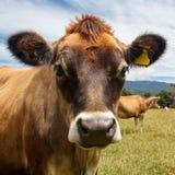 Krowa patrzeje w kamerę Obraz Royalty Free