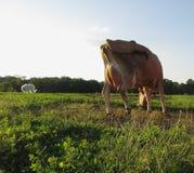 Krowa pies Obrazy Royalty Free