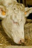 Krowa portret Zdjęcia Royalty Free