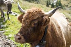 Krowa portret Obrazy Royalty Free