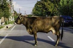 Krowa profil obraz stock