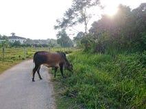 Krowa przy gospodarstwem rolnym Obraz Stock