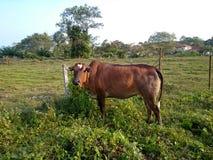 Krowa przy gospodarstwem rolnym Obrazy Stock