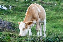 Krowa przy lunchem Zdjęcie Stock