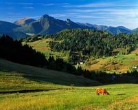 Krowa przy Mala Fatra górami Zdjęcie Stock