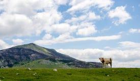 Krowa przy paśnikiem w górze Fotografia Stock