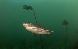 Krowa rekin lub siedem blaszek rekin Zdjęcia Stock