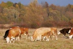 krowa słuchający lekki zmierzch Obrazy Royalty Free