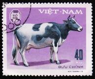 Krowa, serie poświęcać zwierze domowy, około 1979 Zdjęcia Stock