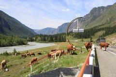 Krowa spacer na Chuysky Trakt Zdjęcie Royalty Free
