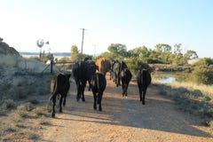 Krowa spaceru dom Obraz Royalty Free