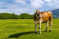 Krowa stoi wciąż samotnie patrzeć naprzód Zdjęcia Stock
