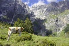 Krowa stojaki przed halną granią Fotografia Stock