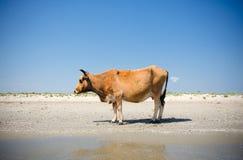 Krowa sunbathing Zdjęcie Stock