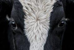 Krowa, twarzy zamknięty up Obrazy Royalty Free