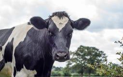 Krowa, twarzy zamknięty up Fotografia Royalty Free