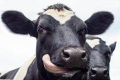 Krowa, twarzy zamknięty up Obraz Royalty Free