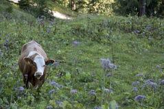 Krowa w łące Fotografia Stock
