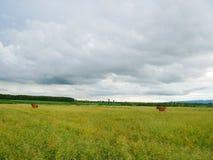 Krowa w łące Zdjęcie Royalty Free