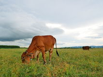 Krowa w łące Zdjęcia Royalty Free