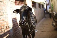 Krowa w alei Fotografia Stock