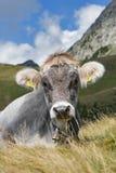 Krowa w Alpes Obraz Royalty Free