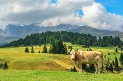 Krowa w Alpi Di Siusi, dolomity Fotografia Royalty Free