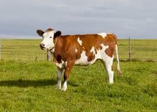 Krowa w alps Obrazy Royalty Free
