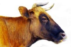 Krowa w biały fone fotografia stock