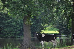 Krowa w cieniach Obrazy Royalty Free