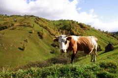 Krowa w góra paśniku, Magura wioska Fotografia Royalty Free