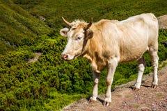 Krowa w górach, madery wyspa zdjęcia royalty free