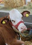Krowa w gospodarstwie rolnym Obrazy Stock