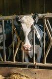 Krowa w karmienie zapasie w stajni Zdjęcia Royalty Free