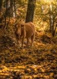Krowa w lesie fotografia stock