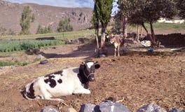 Krowa w naturalnym krajobrazie fotografia royalty free